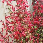 Salvia Roemeriana Hot Trumpets