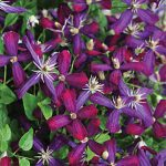 Clematis Sweet Summer Love PPAF
