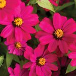 Zinnia Uptown Grape