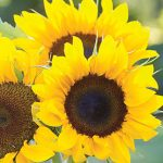 Sunflower Elegance