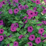 Petunia Tickled Pink