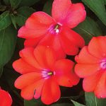 Impatiens (New Guinea) Spreading Corona