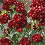 Dianthus Sweet Black Cherry