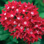 Pentas Starcluster Red