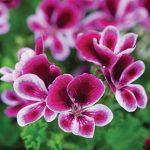 Geranium Angel's Perfume