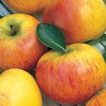 Apple Cox's Orange Pippin