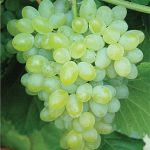 Grape Hope Seedless