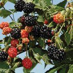 Blackberry Ouachita PP17162