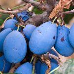 Plum Italian Prune