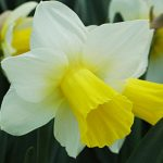 Daffodil Bravoure