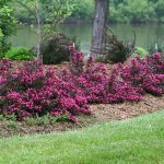 Weigela florida Spilled Wine PPAF