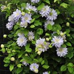Clematis Diamond Ball PPAF