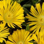 Delosperma Golden Wonder