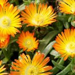 Delosperma Orange Wonder