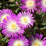 Delosperma Violet Wonder