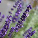 Lavender Big Time Blue