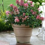 Hydrangea paniculata Little Quick Fire