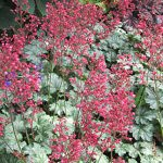 Heuchera Paris PPAF