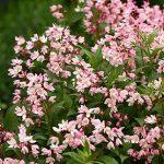 Deutzia Yuki Cherry Blossom PPAF