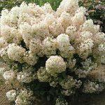 Hydrangea paniculata Bobo