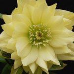 Hellebore Golden Lotus