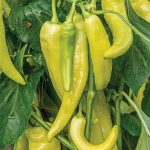 Pepper Hot Blazing Banana Hybrid