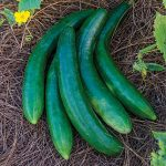 Cucumber Summer Dance Hybrid