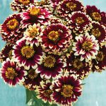 Zinnia haageana Color Crackle