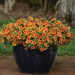 Calibrachoa Kabloom Crave Sunset