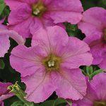 Petunia Blink
