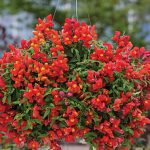 Snapdragon Candy Showers Orange