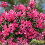 Snapdragon Candy Showers Rose