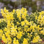 Snapdragon Candy Showers Yellow