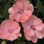 Impatiens SunPatiens Blush Pink