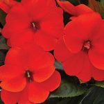 Impatiens SunPatiens Electric Orange