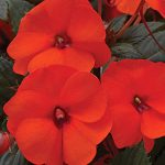 Impatiens SunPatiens Hot Coral