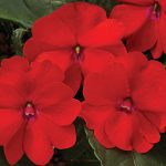 Impatiens SunPatiens Red