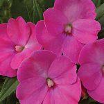 Impatiens SunPatiens Lilac