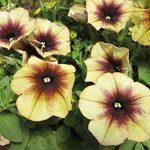 Petunia Cascadia Autumn Mystery