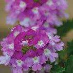 Verbena Twister Purple