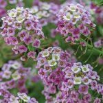 Lobularia Bicolor Pink Stream