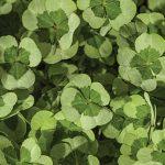 Trifolium 4 Luck