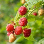 Raspberry Prelude