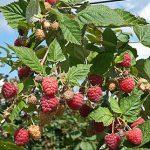 Raspberry Tulamagic