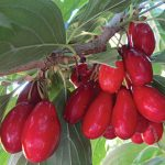 Cornelian Cherry Red Star