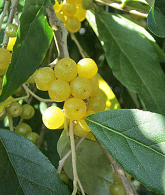 Autumn olive Amber | Buy Garden Plants Online