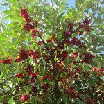 Autumn olive Garnet