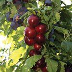 Cherry Sweet Nadia