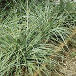 Orn. Grass Carex Everest PPAF