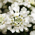 Iberis sempervirens Whiteout